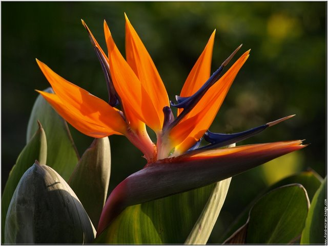 strelitzia reginae le blog officiel de michel bellin