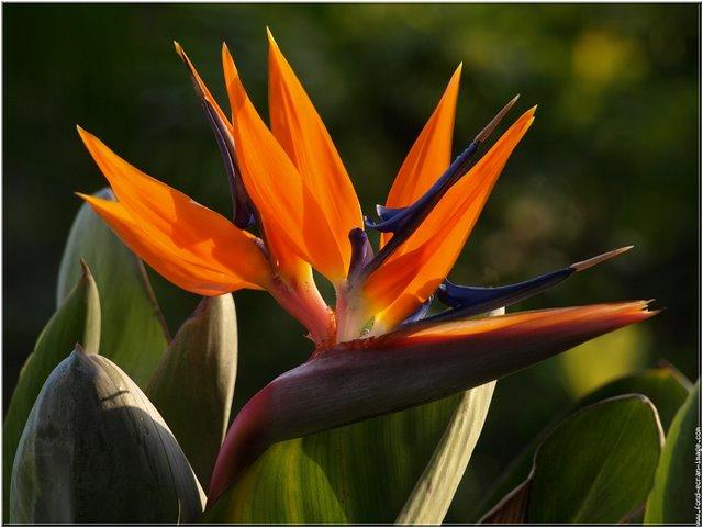 Strelitzia reginae le blog officiel de michel bellin - Oiseau de paradis plante ...